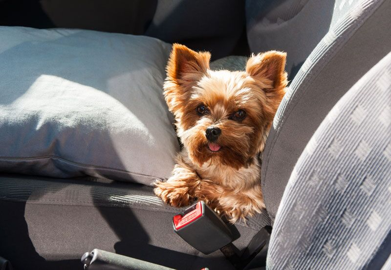 How to Safely Drive with Your Pets in the Car
